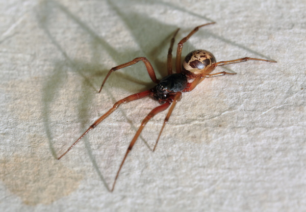 Spiders housekeeping friend or foe london cleaning system for What does a garden spider look like